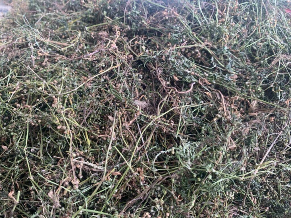 cỏ lưỡi rắn