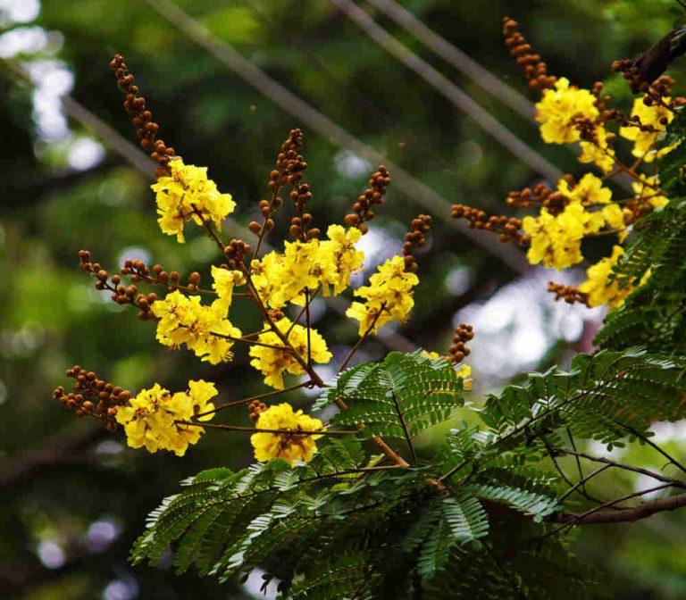 Cây và hoa Tô mộc