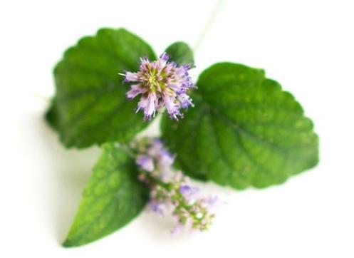 Liều dùng của Hoắc hương